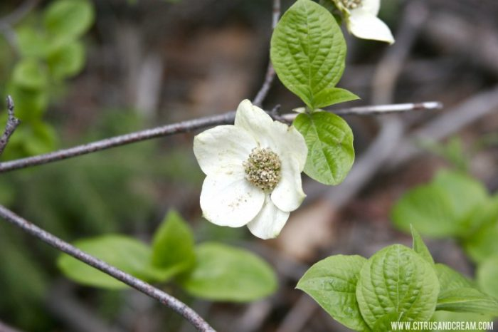 Blooming Dogwoods in Sequoia National Park